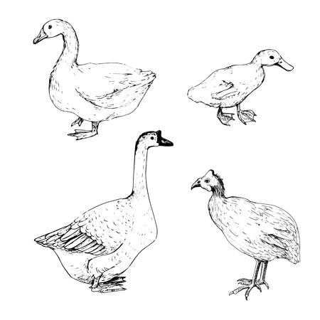 ガチョウ、アヒル、七面鳥、手描きのスケッチをベクトル分離ホーム鳥