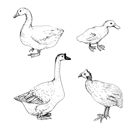 vector sketch of goose, duck and turkey, hand drawn isolated home birds