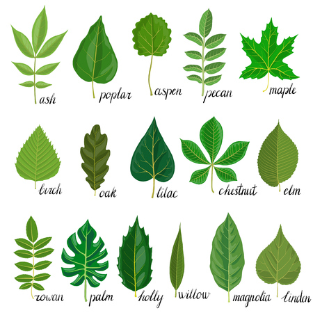 Vector green leaves of different trees isolated at white background, hand drawn illustration Çizim