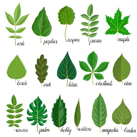 Vector verde hojas de diferentes árboles aislados en fondo blanco, Ilustración dibujados a mano Foto de archivo - 88422835