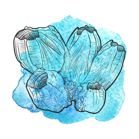 Vector barnacle at blue watercolor background, hand drawn illustration Stock fotó - 88423081