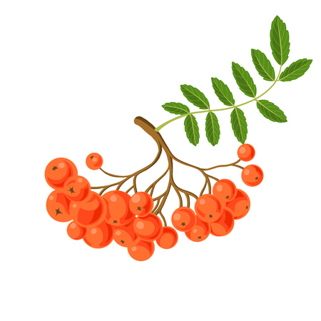 Rowan berries with green leaf at white illustration. Illustration