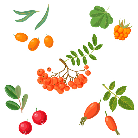 vector rowan berries illustration.