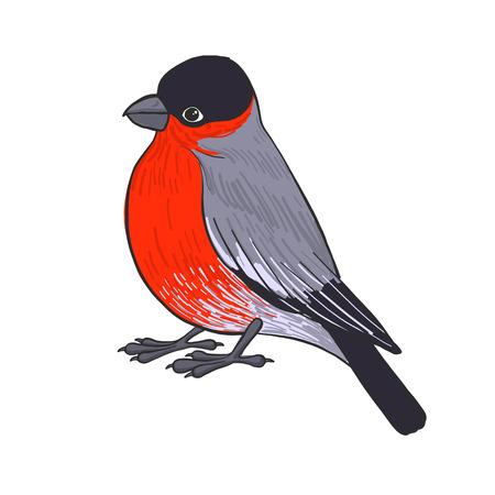 Bullfinch bird illustration.