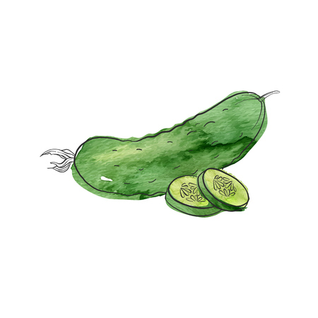 Vector drawing cucumber, isolated vegetables, hand drawn illustration