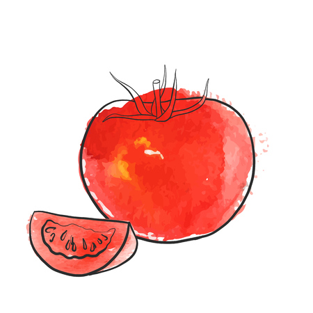 vector drawing tomato, isolated vegetables, hand drawn illustration