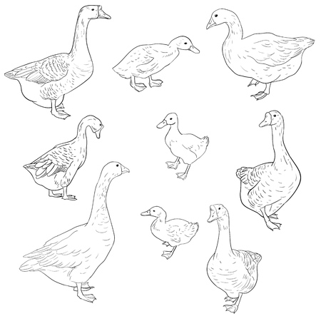 vector sketch of geese, ducks, and goslings isolated on white background