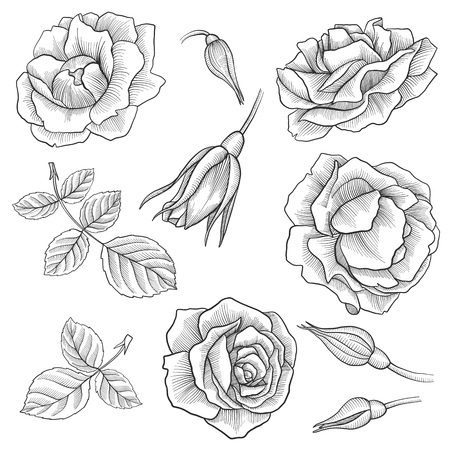 vintage vector floral set of isolated elements in victorian style, flowers, buds and leaves of roses, imitation of engraving, hand drawn design elements