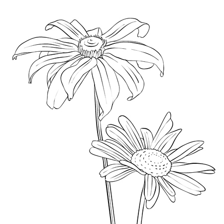 vector drawing flowers of daisy
