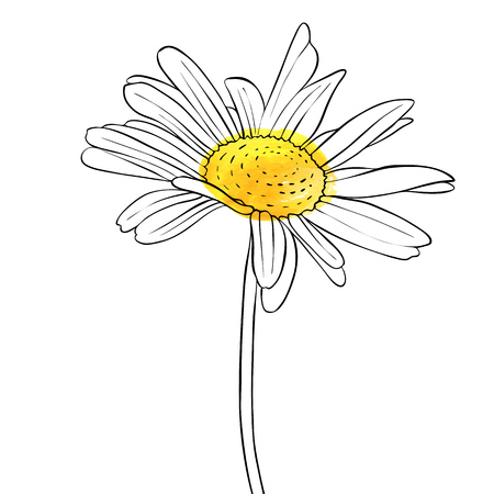 vector drawing flower of daisy 일러스트