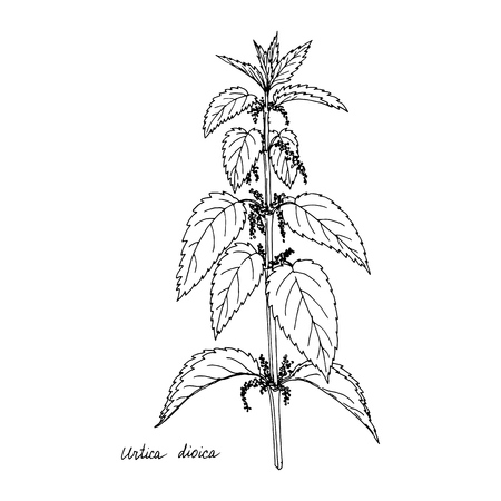 Nettle, ink drawing medicinal plant, monochrome botanical illustration in vintage style, isolated floral element, hand drawn illustration