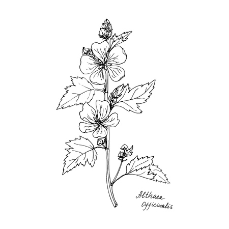 Ink drawing medicinal plant, monochrome botanical illustration in vintage style, isolated floral element, hand drawn illustration