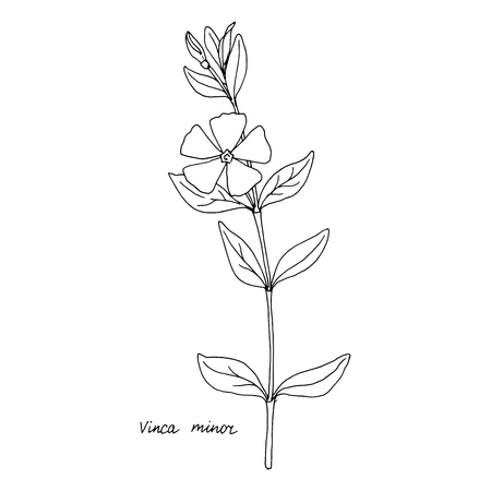 Periwinkle, ink drawing medicinal plant, monochrome botanical illustration in vintage style, isolated floral element, hand drawn illustration Imagens - 99551804