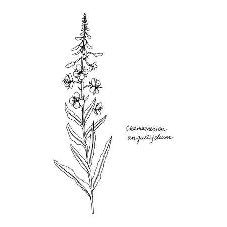 Willow herb, ink drawing medicinal plant, monochrome botanical illustration in vintage style, isolated floral element, hand drawn illustration