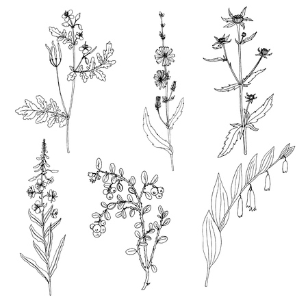 celandine, ink drawing medicinal plant, monochrome botanical illustration in vintage style, isolated floral element, hand drawn illustration