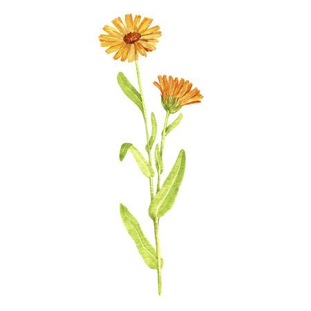 Watercolor drawing plant of calendula Stock Photo