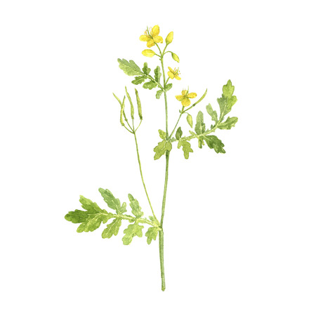 watercolor drawing plant of celandine