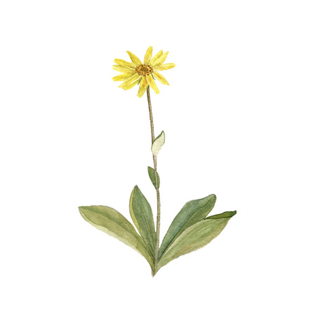 watercolor drawing plant of Arnica