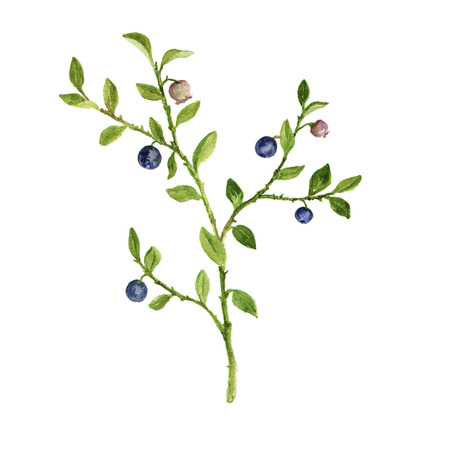 watercolor drawing plant of blueberries Imagens - 100896244