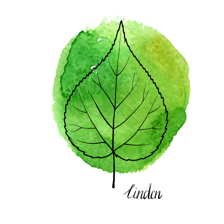vector leaf of linden tree at green watrcolor paint stains, hand drawn illustration