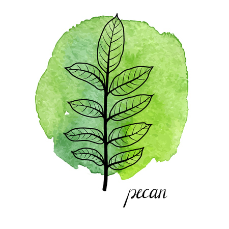 vector leaf of pecan tree at green watrcolor paint stains, hand drawn illustration