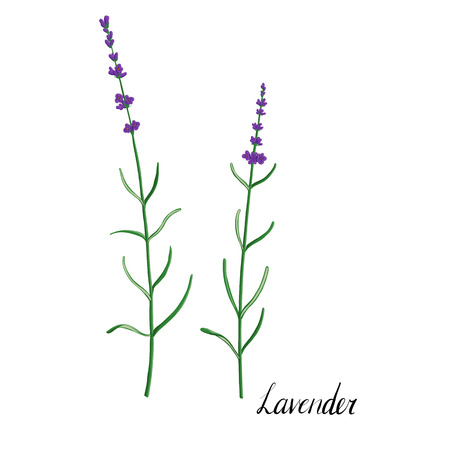 vector plant of lavender