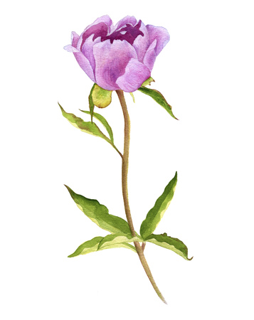 watercolor drawing pink peony flower