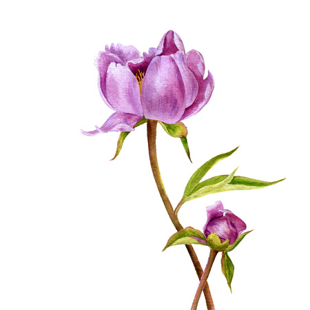 watercolor drawing pink peony flowers