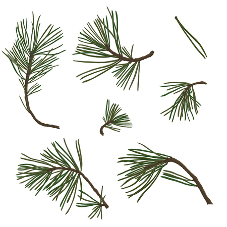 vector pine branches with green needles isolated at white background, hand drawn botanical illustration Çizim