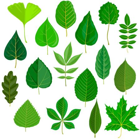 vector hojas verdes de diferentes árboles aislados en fondo blanco, ilustración dibujada a mano