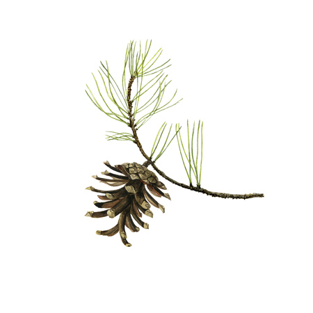 pine branch with cone and green needles