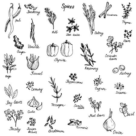 vector sketch of spices, hand drawn illuastrtion