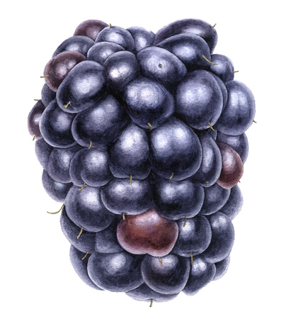 watercolor drawing blackberry