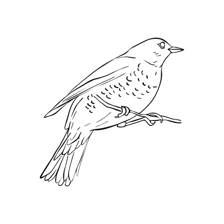 Vector line drawing bird sitting at tree branch, sketch of thrush, hand drawn songbird, isolated nature design element