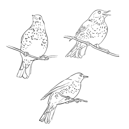 Vector line drawing birds sitting at tree branch, sketch of thrush, hand drawn songbird, isolated nature design element