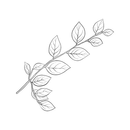vector drawing branch of breaking buckthorn with leaves, hand drawn illustration