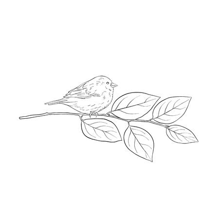 Dibujo de líneas vectoriales pájaro sentado en la rama de un árbol de espino cerval, boceto de gorrión, pájaro cantor dibujado a mano, elemento de diseño de naturaleza aislada