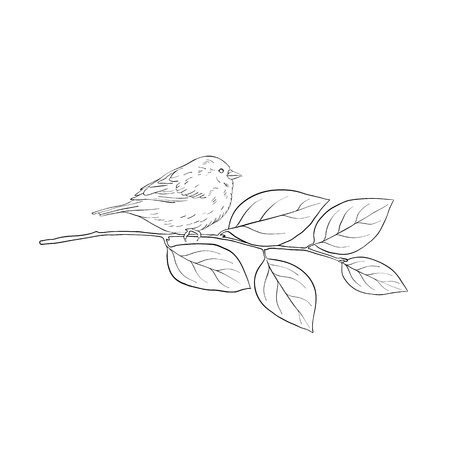 Vector line drawing bird sitting at tree branch of buckthorn, sketch of sparrow, hand drawn songbird, isolated nature design element