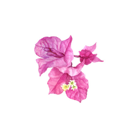 watercolor drawing Bougainvillea flower isolated at white background, hand drawn illustration