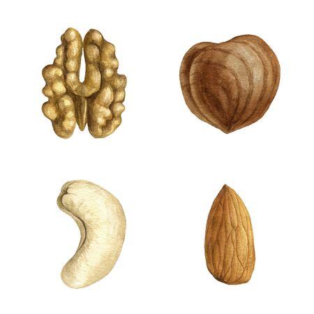 watercolor drawing nuts