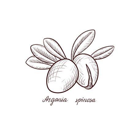 vector drawing nuts of argania