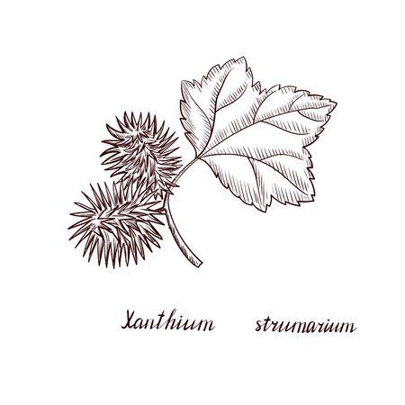 vector drawing cocklebur plant Ilustração