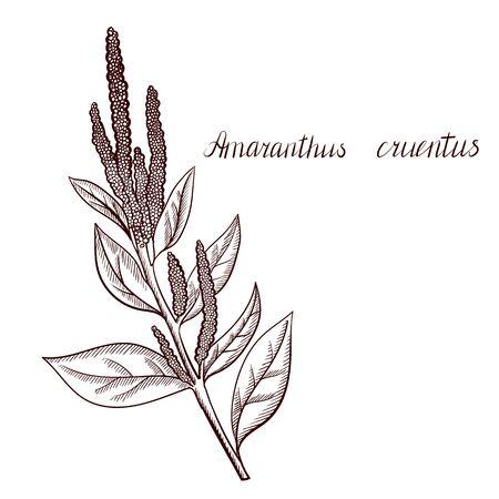 vector drawing amaranth plant Çizim