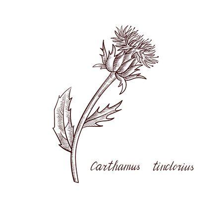 vector drawing safflower plant Çizim