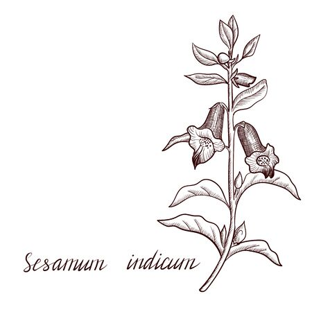 vector drawing sesame plant