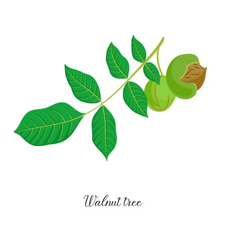 vector drawing branch of walnut tree Ilustração