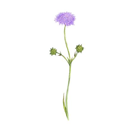 field scabious flower, drawing by colored pencils