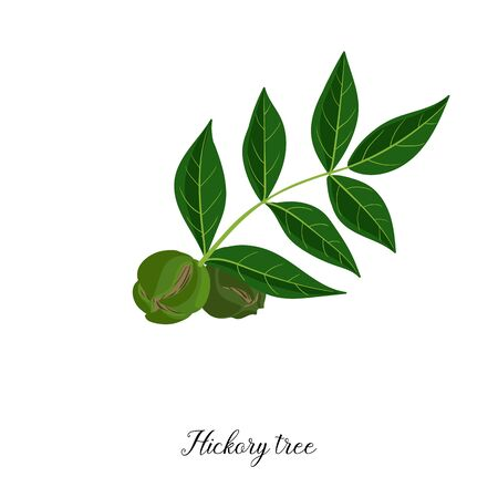 vector drawing branch of hickory tree