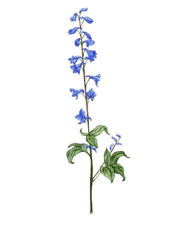 larkspur flower, drawing by colored pencils, Delphinium elatum, hand drawn illustration