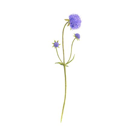 devil's-bit scabious flower, drawing by colored pencils,Succisa pratensis, hand drawn illustration